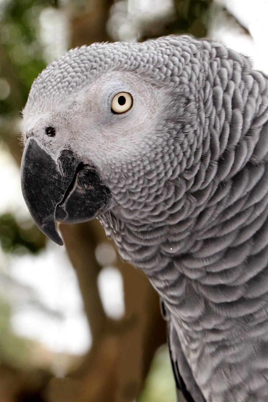 Zoe, African Grey