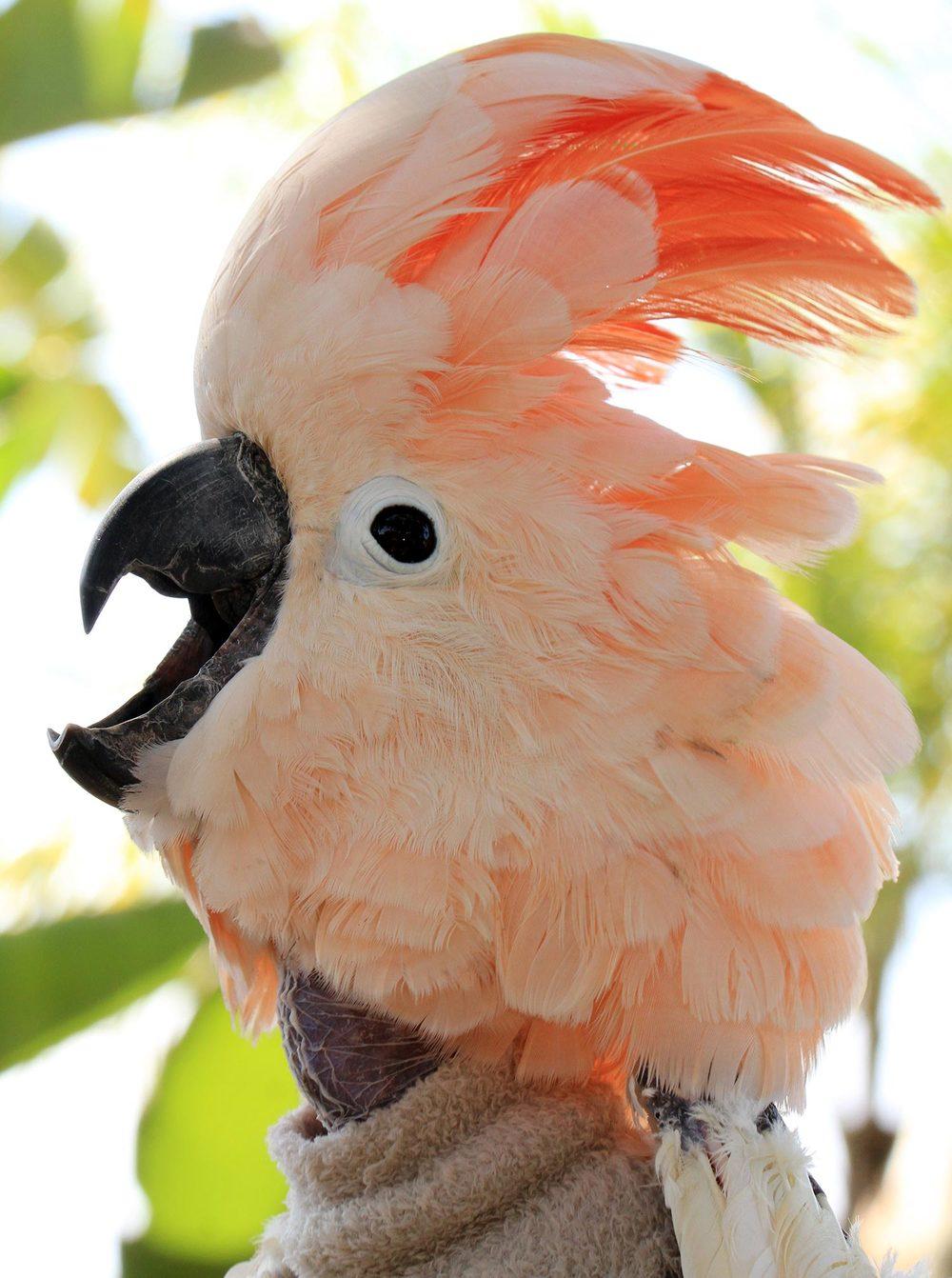 Sponsored Bird: Malcolm,Moluccan Cockatoo