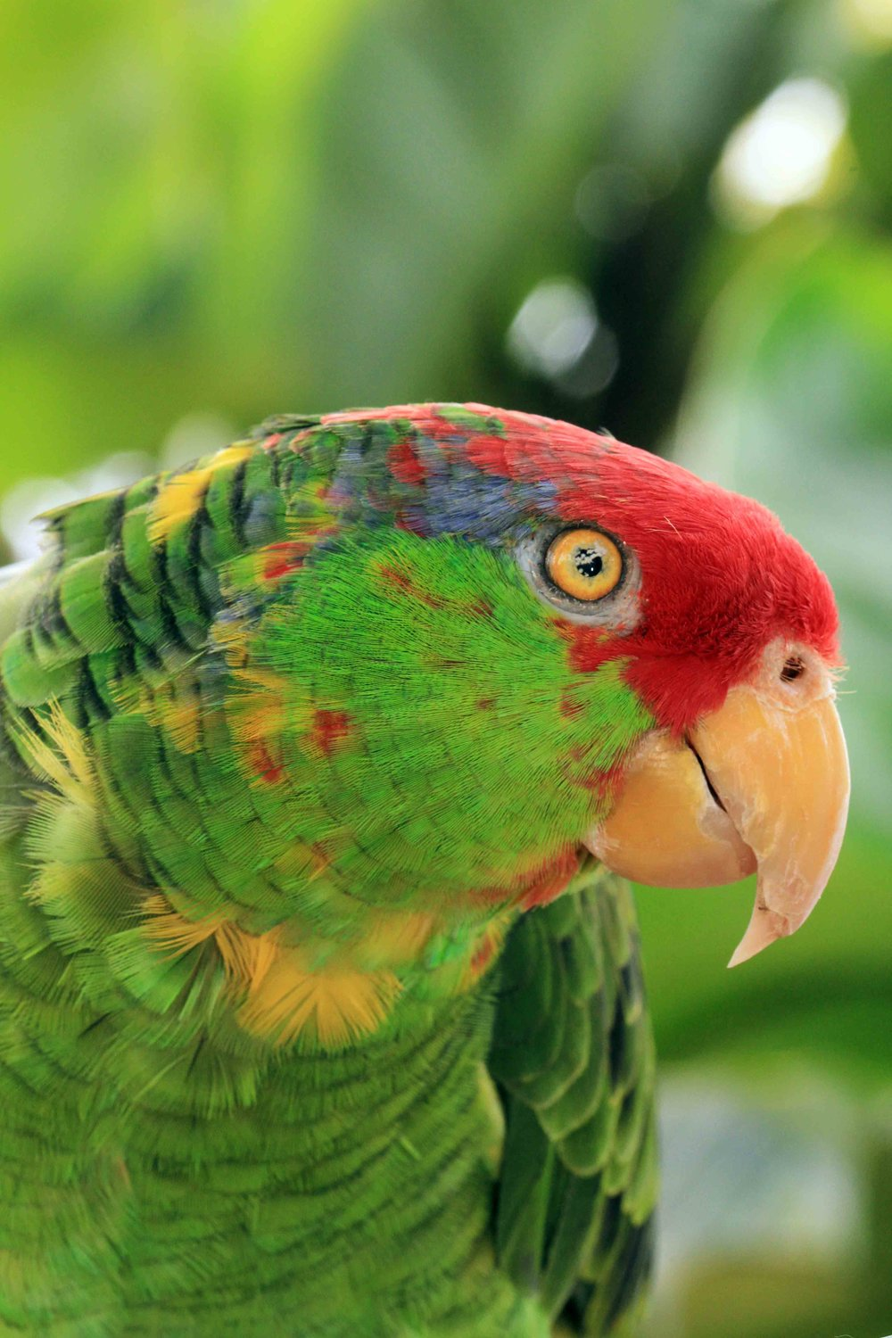 Paco, Mexican Red-Headed Amazon