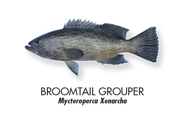 Broomtail-grouper.jpg