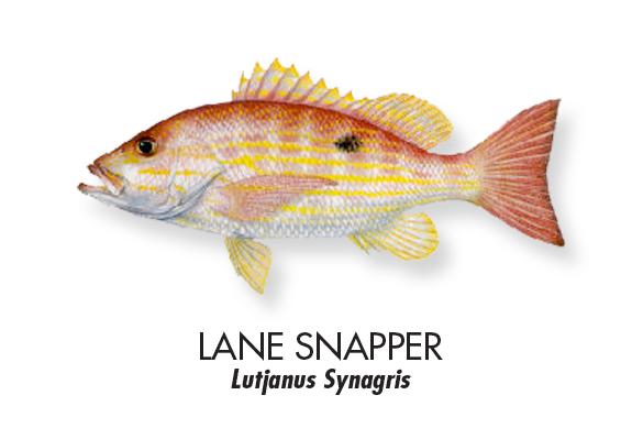 LANE-SNAPPER.jpg