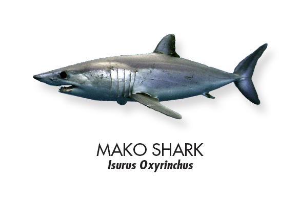 MAKO-SHARK.jpg