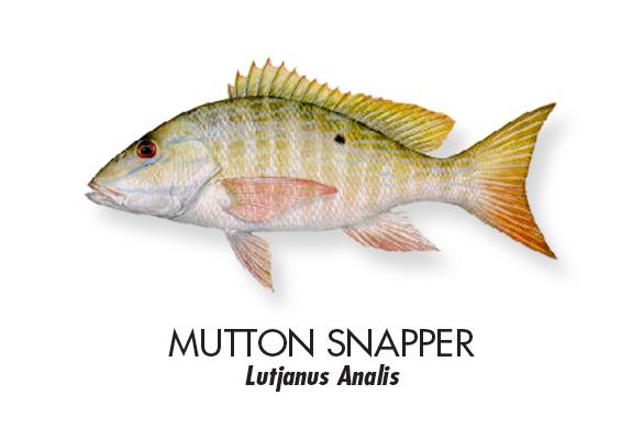 MUTTON-SNAPPER.jpg