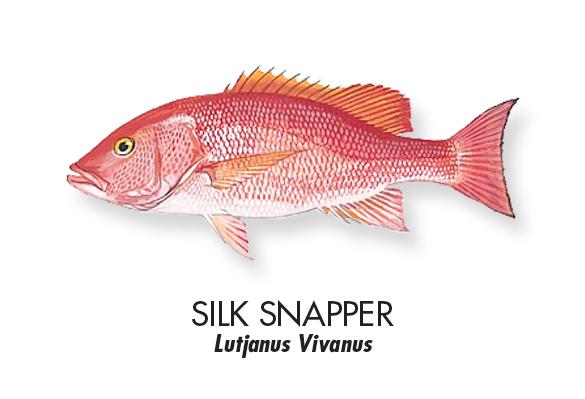 SILK-SNAPPER.jpg
