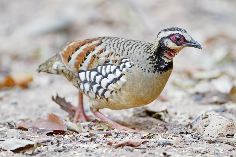 20161206 Partridge Google image labeled for reuse Arborophila_brunneopectus_male_-_Kaeng_Krachan