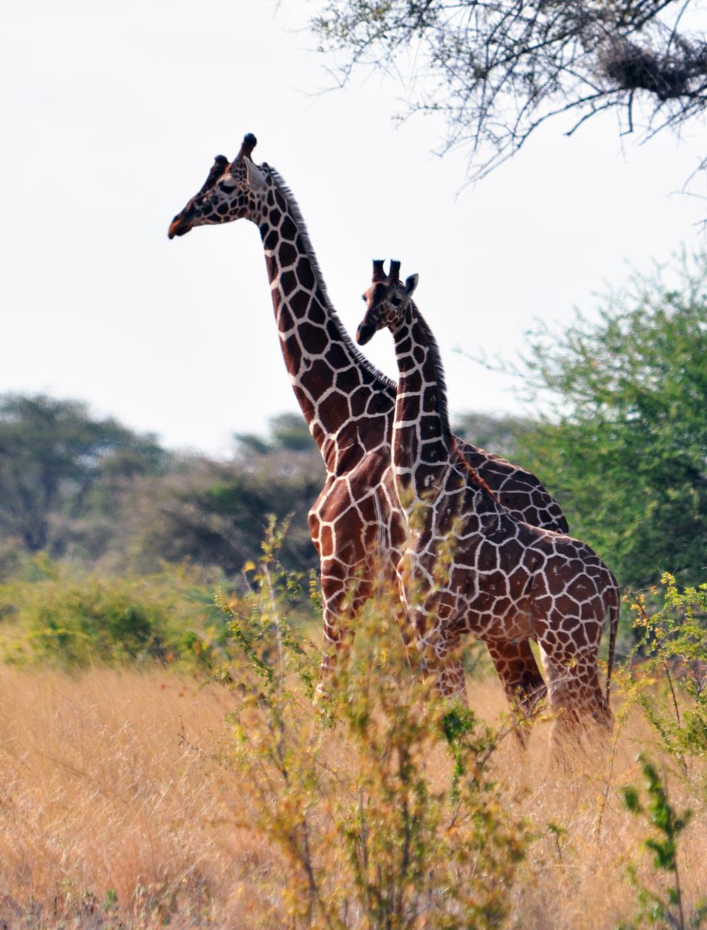 Safari 3 Giraffe (2).jpg