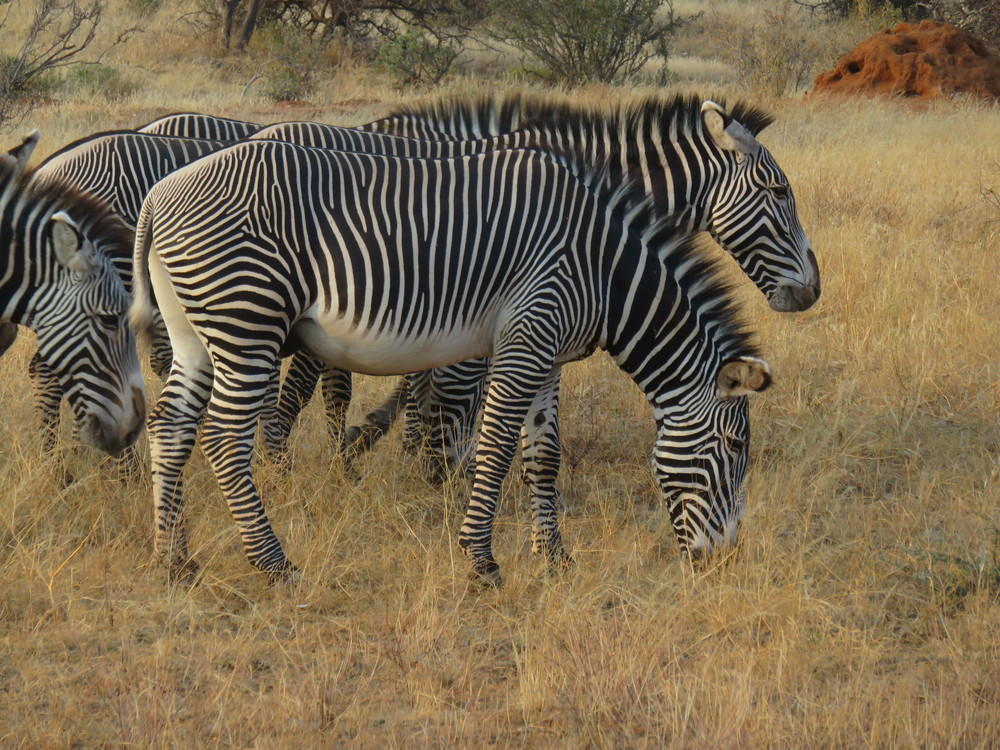 Safari 11 Zebras (2).jpg