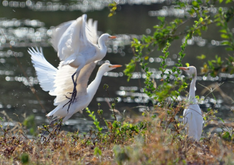 Safari white birds.jpg