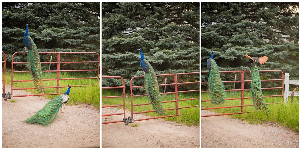 peacocks-7_WEB.jpg