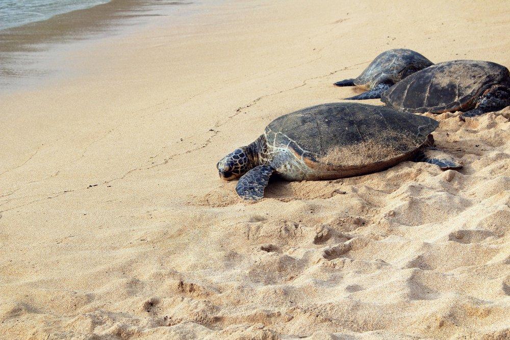 honu-turtle-north-shore-maui