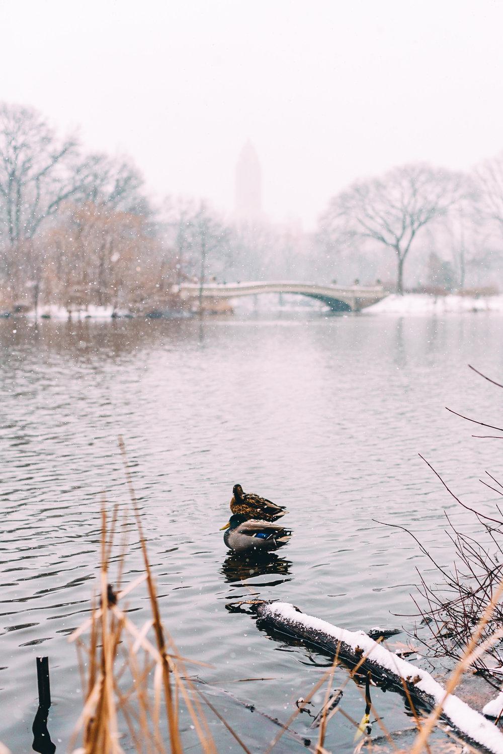 Central Park Ducks.jpg
