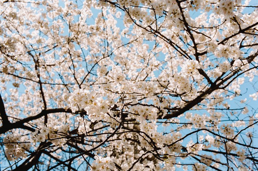 Cherry White Blossoms.jpg