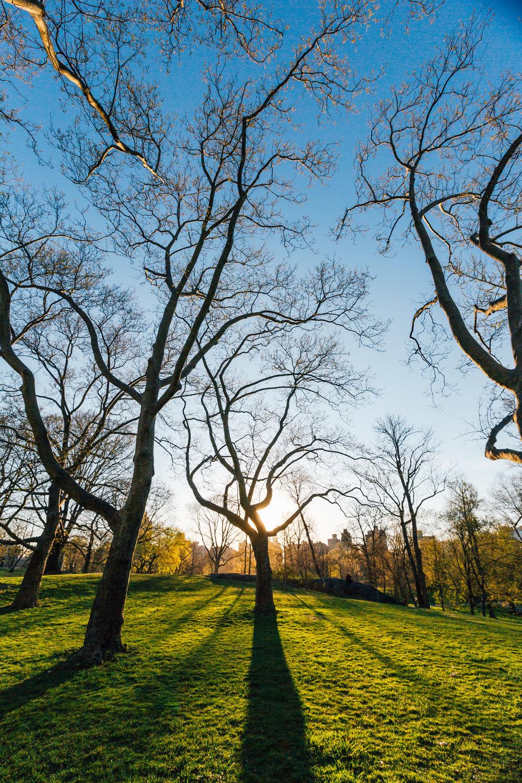 Central Park Silouhette Tree.jpg