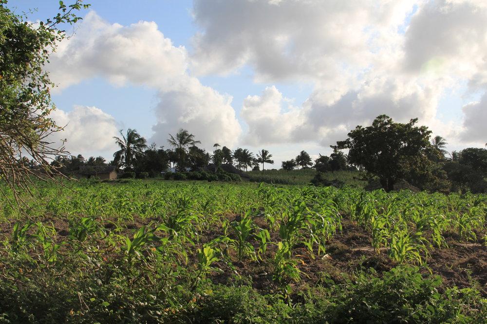 Maize crops in Birini, Coast, Kenya