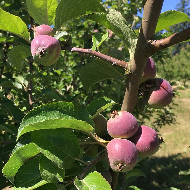 Things are coming along at #frenchlaneorchard pretty light crop on the cider apples, good crop on the heirlooms, and fantastic crop on the perry pears! Kingston Black apples and Winnals Longdon pears pictured. #cider #perry #orchard #knowyourapples #knowyourpears #carlton #oregon #pnw