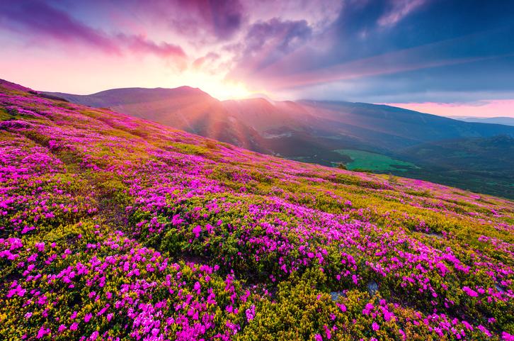 Morning purple flowers carpathian mountains.jpg