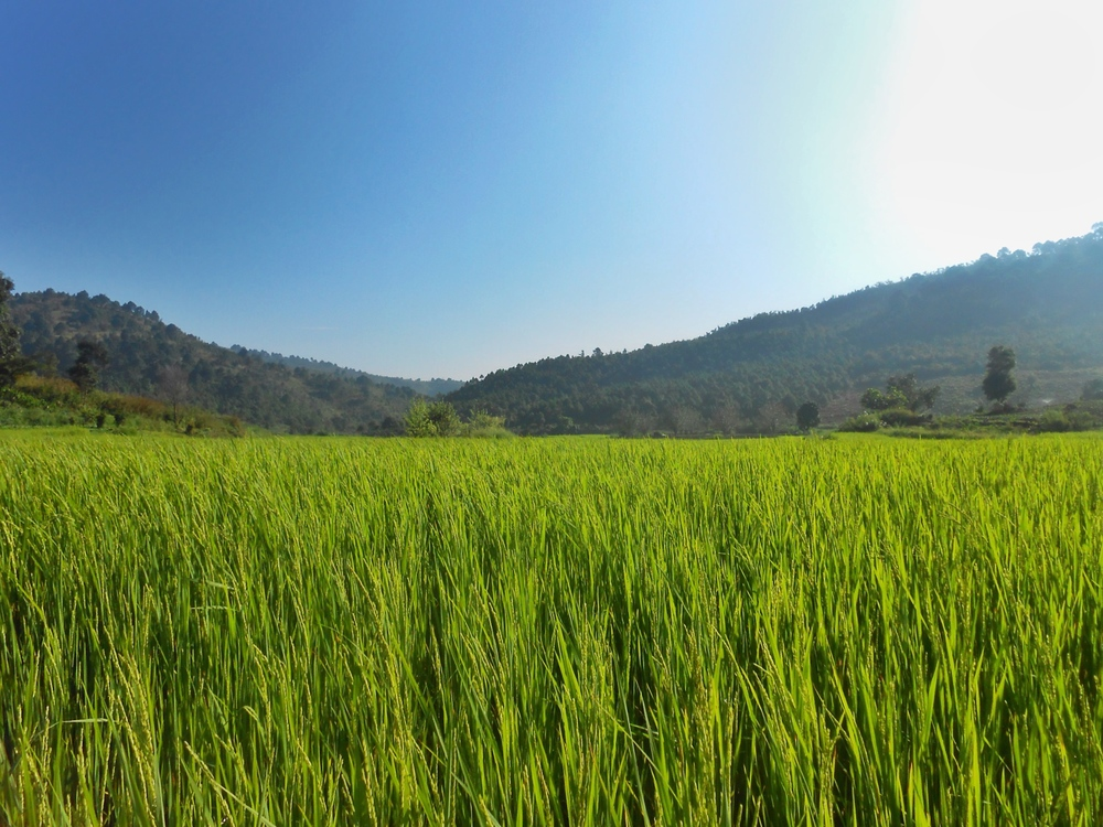 Vivid Green: Rice kissed by the rising sun