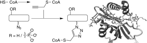 A novel strategy to prepare bisubstrate based inhibitors for histone acetyltransferases is presented. To obtain these, azido peptides derived from histone H3 incorporating either a serine or a phosphoserine residue were connected to a propargyl coenzyme A derivative through copper catalyzed click chemistry. The resulting inhibitors were tested with therapeutically relevant acetyltransferase PCAF. Increased potency of the phosphoserine containing inhibitor was observed. The synthetic strategy presented may be used for developing bisubstrate based inhibitors against any acetyltransferase.