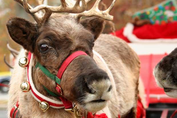 Reindeer_Xmas_620.jpg