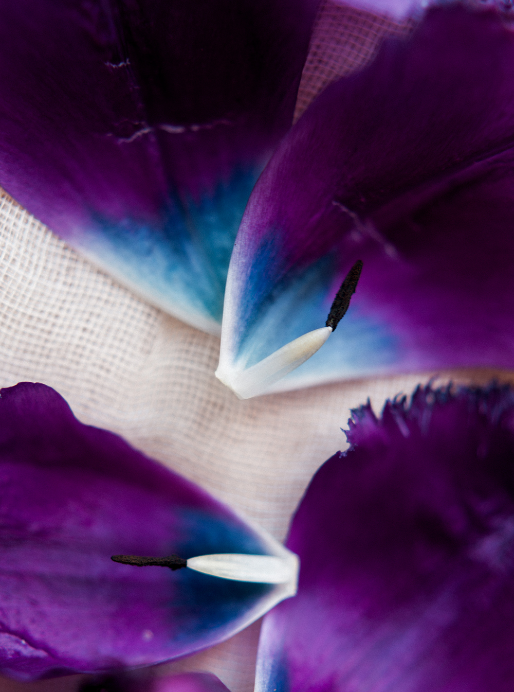 purple and blue tulips