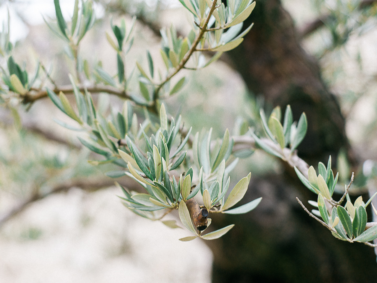 Olive trees in Provence - Celine Chhuon Phototography