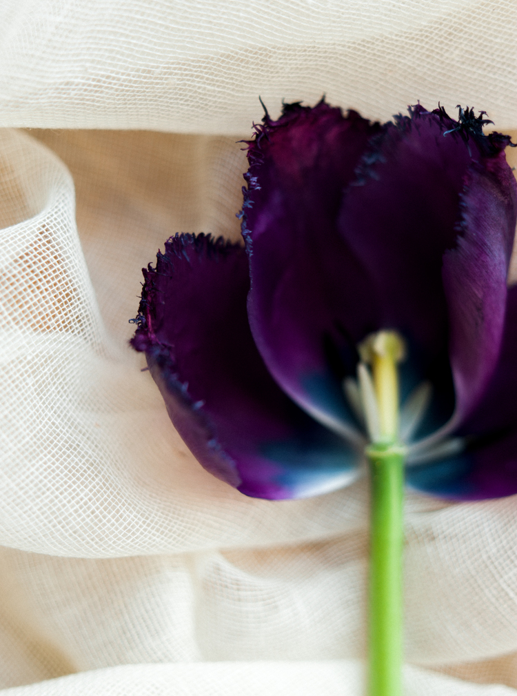 flowers_tulips_purple_celine_chhuon (3).JPG