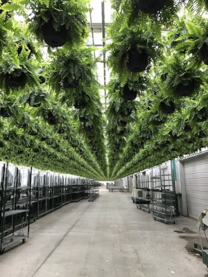 Thousands of ferns hang from the ceiling inside Heartland Growers.