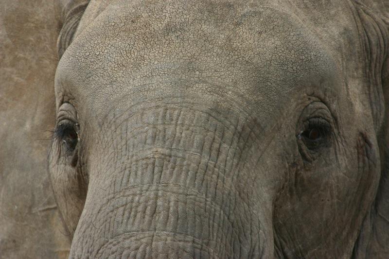 elephant-face2.jpg
