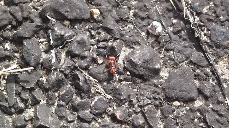 ant, pogonomyrmex.jpg