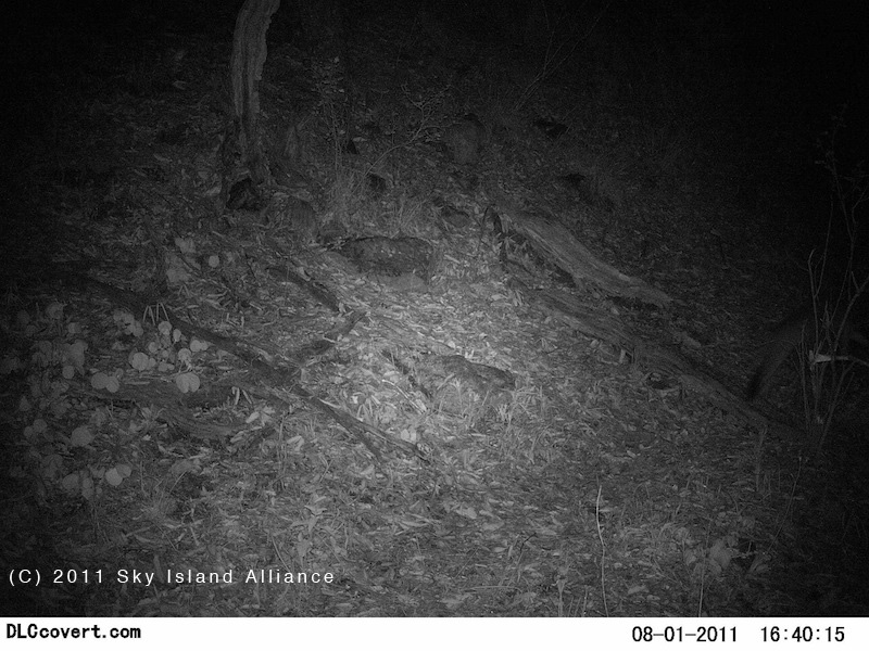 trail-camera-urocyon_maba_sra_bacadehuachi_01august2011.jpg