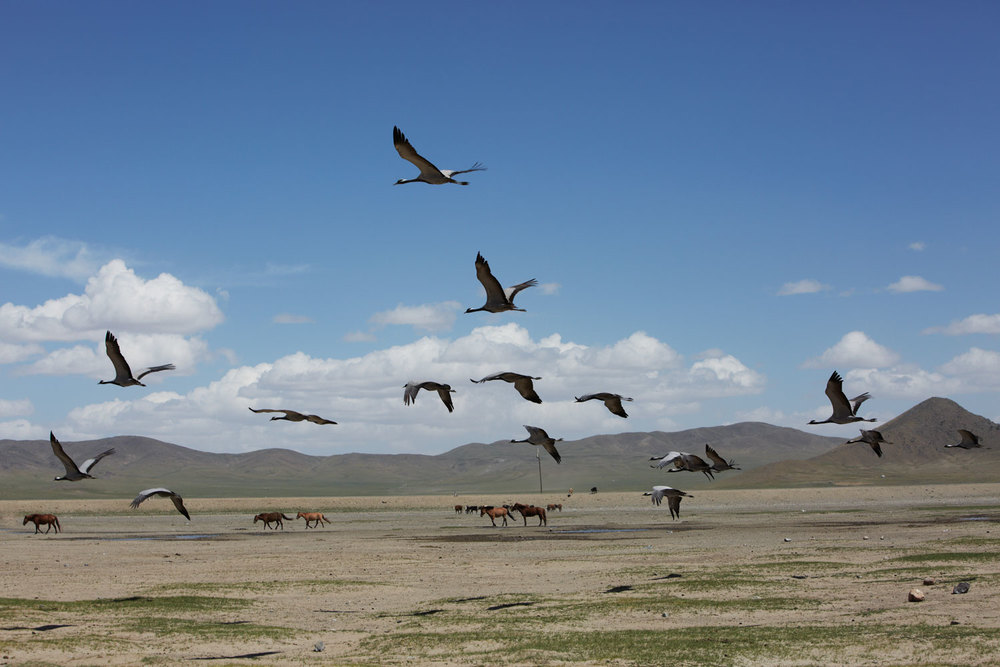 Flock of Birds on the Mongolia Landscape