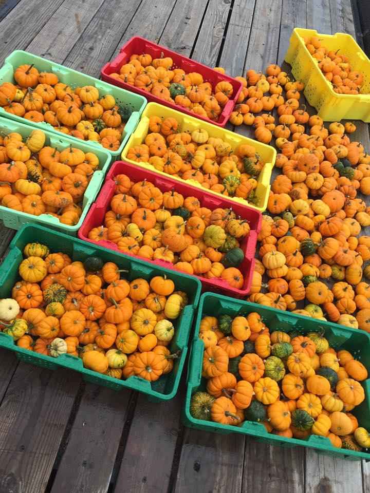 Mini pumpkins 2.jpg