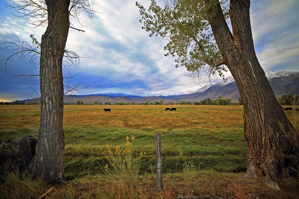 Trees_Cows.jpg