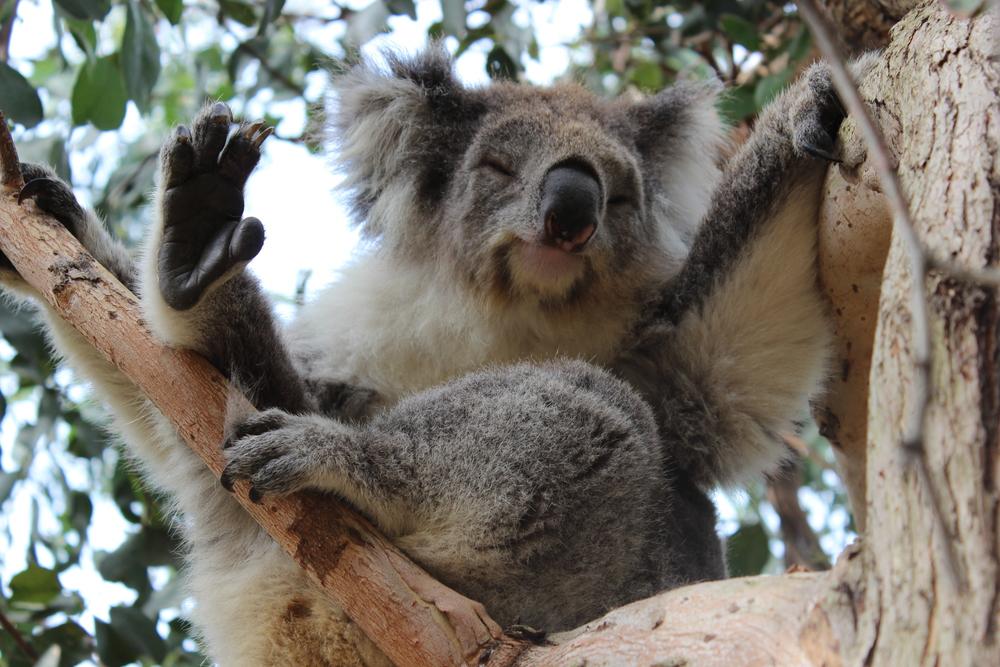 Koala at Kennett River