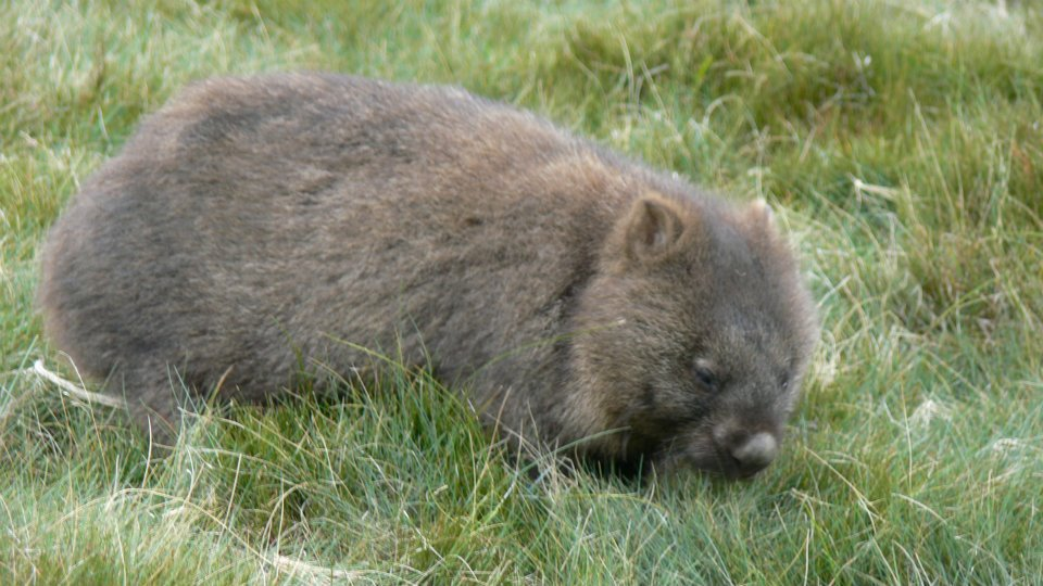 Wombat in Cradle Mountain National Park