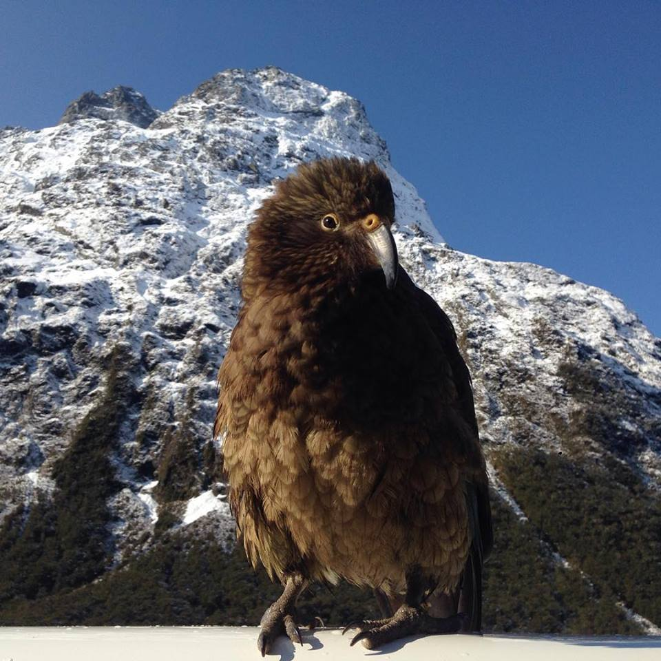 KEA in Milford Sound Fiordland New Zealand