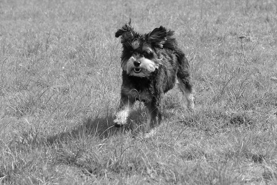 Local-Dog-Walker-Richmond