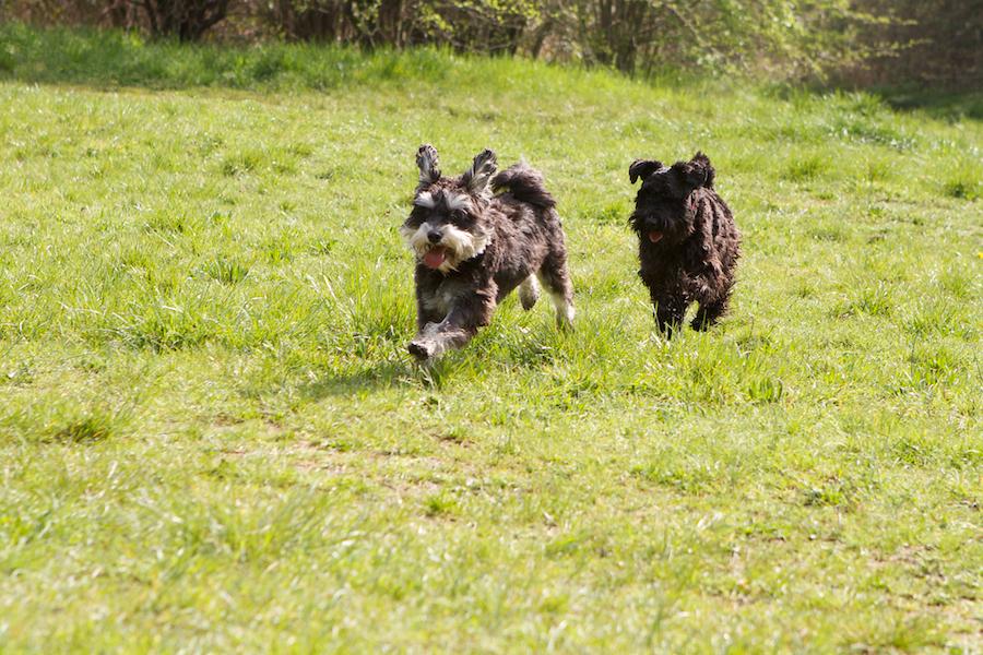 Dog-Walker-Chiswick-Richmond