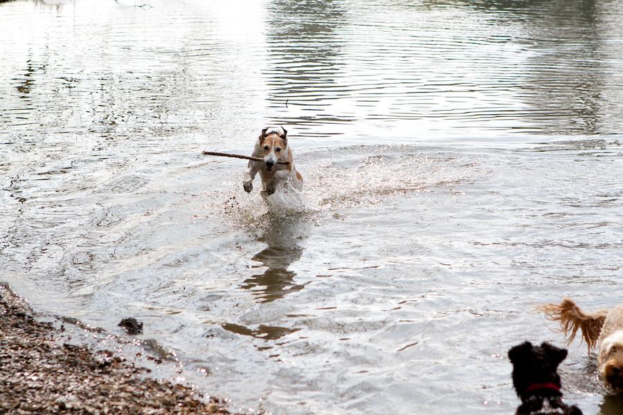 Chiswick-Park-Dog-Walker