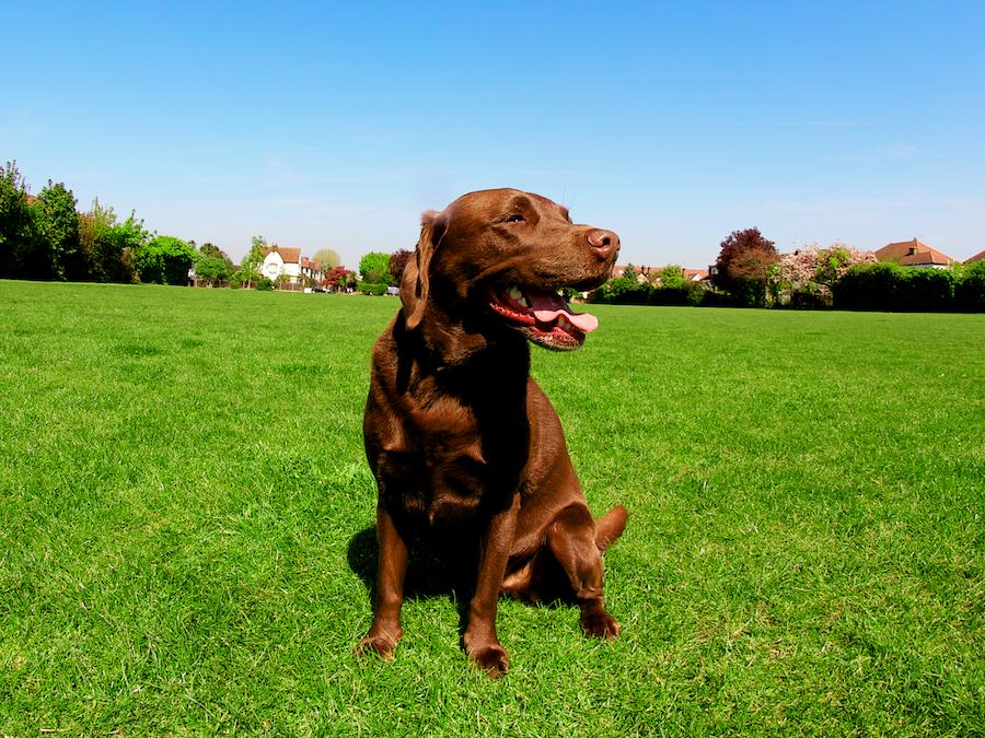 Large-Dog-Walker-Richmond-Local