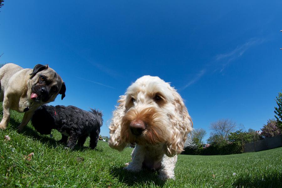 Dog-Walker-Kingston
