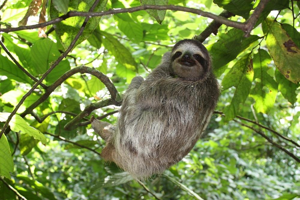 sloth-panama.jpg