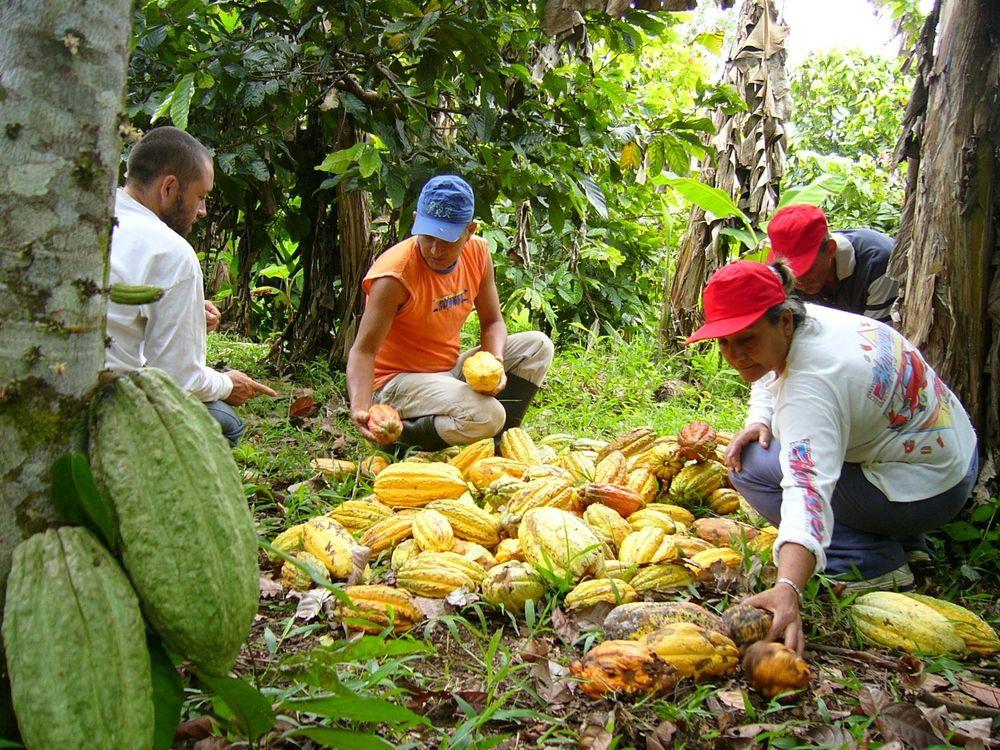 cosechando_cacao_en_Remolino_Gentileza_Rodrigo_Velaidez_Chocaguan.jpg