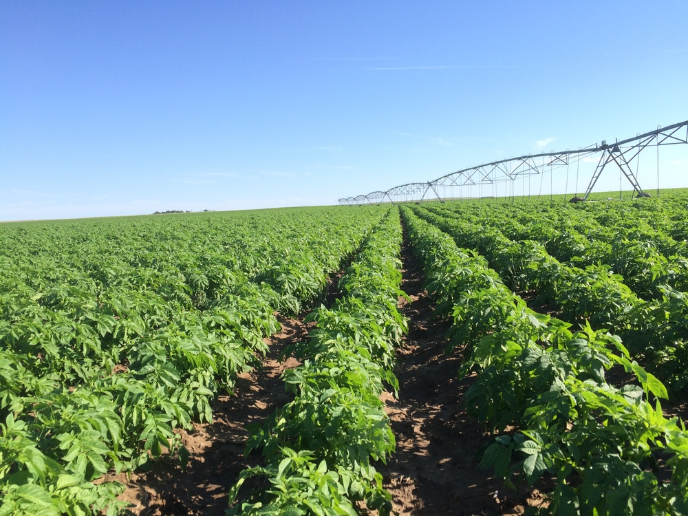6.24.15 Clayton Potatoes with sprinkler.jpeg