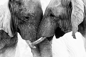 Ivory from elephant tusks are part of a global black market trade. The elephants above were photographed at a Nambian conservation park. (iStock photo)