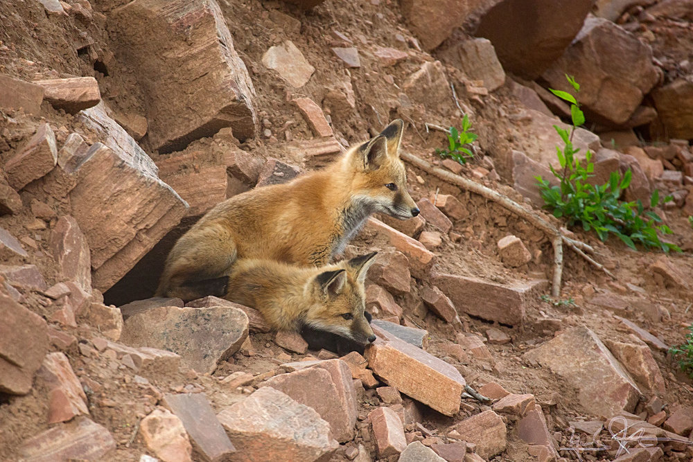 Fox kits at entrance to den, Lyons, Colorado