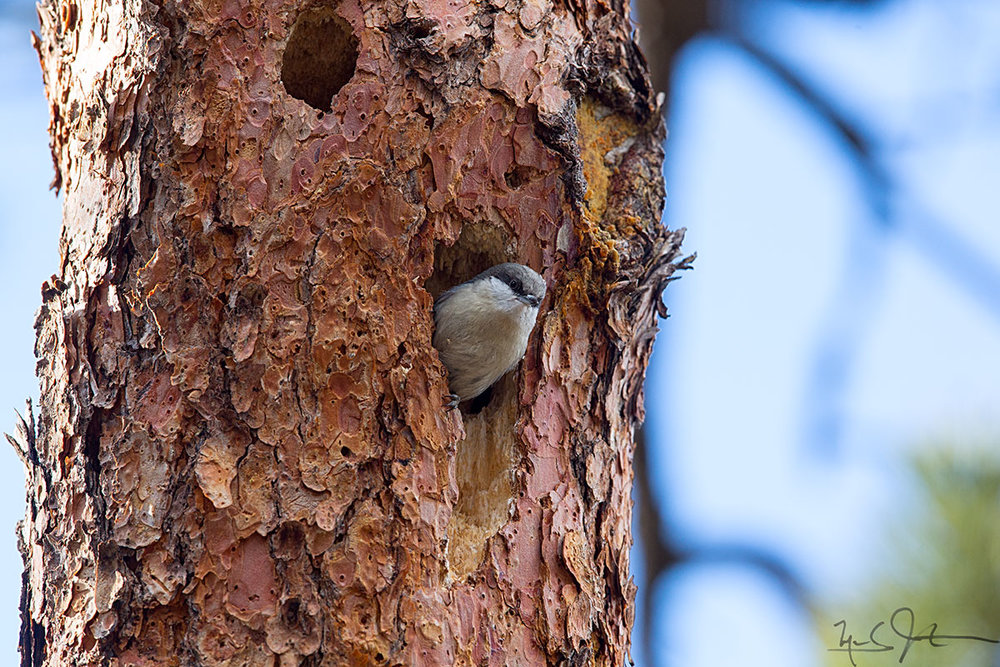 Nuthatch at nest entrance.