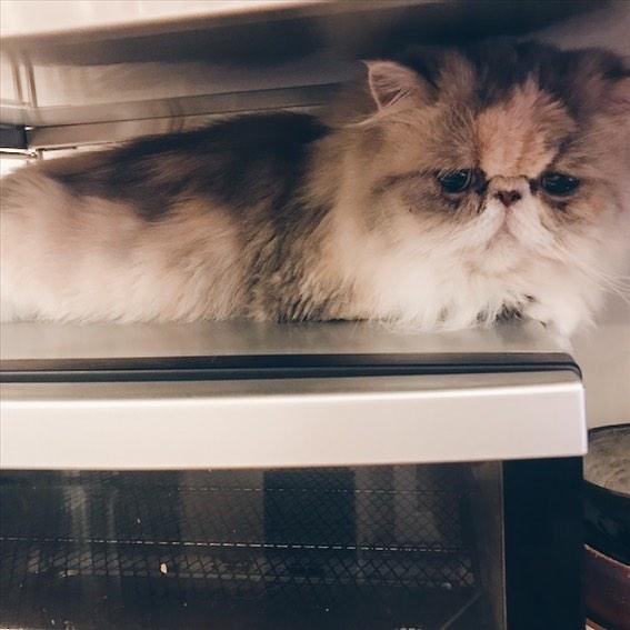最近のワタは、トースターの上の狭い所がお気に入り… . . #梅田haulproductarea #エキゾチックロングヘアー #wata#美容院#美容師#美容室#猫