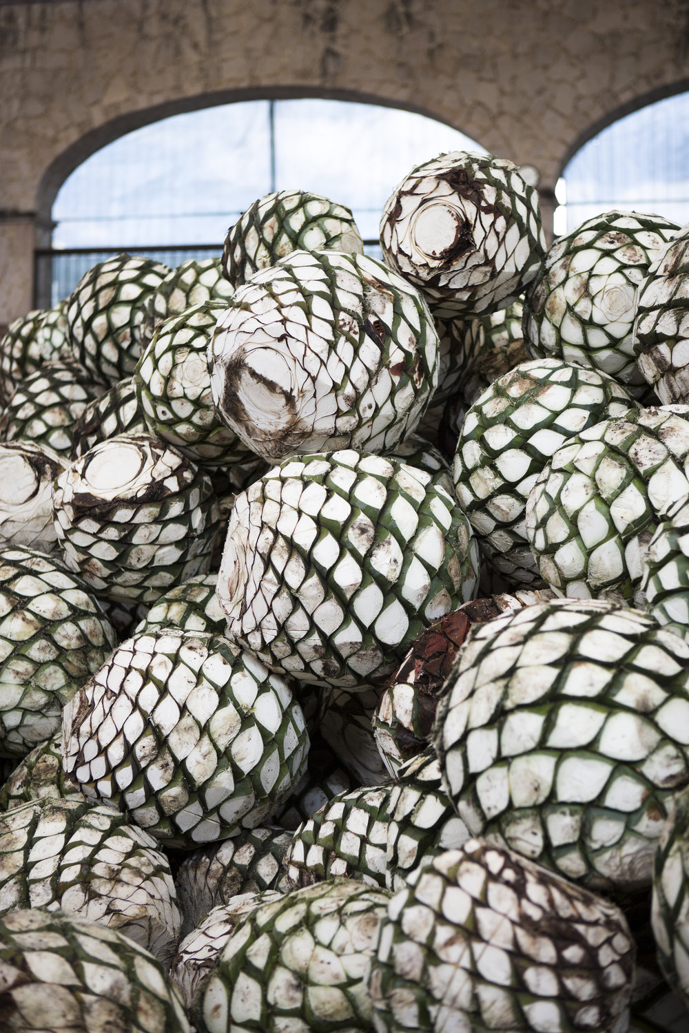 Blue Agave Piñas at La Primavera Distillery