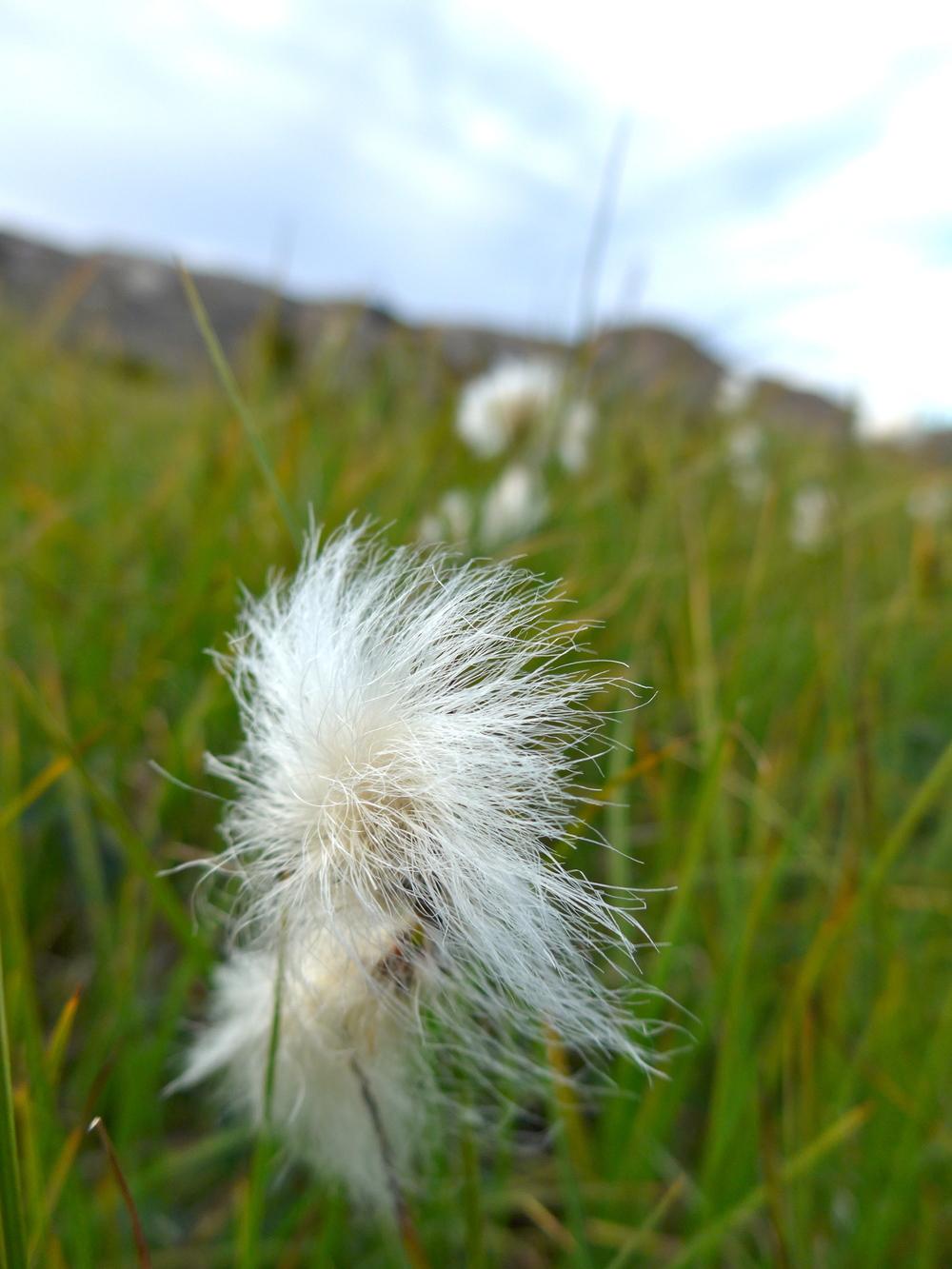 Cottongrass.